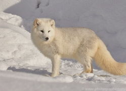 arctic-fox-copyright-photographers-on-safari-com-7519