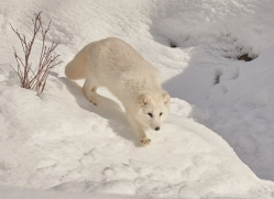 arctic-fox-copyright-photographers-on-safari-com-7520