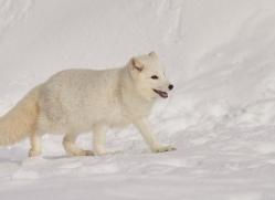 arctic-fox-copyright-photographers-on-safari-com-7525