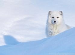 arctic-fox-copyright-photographers-on-safari-com-7526