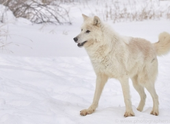 arctic-wolf-copyright-photographers-on-safari-com-7527