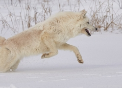 arctic-wolf-copyright-photographers-on-safari-com-7528