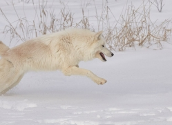 arctic-wolf-copyright-photographers-on-safari-com-7531