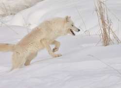 arctic-wolf-copyright-photographers-on-safari-com-7532