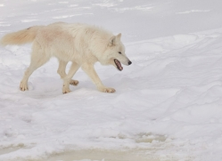 arctic-wolf-copyright-photographers-on-safari-com-7533