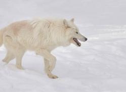 arctic-wolf-copyright-photographers-on-safari-com-7535