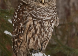 barred-owl-copyright-photographers-on-safari-com-7536