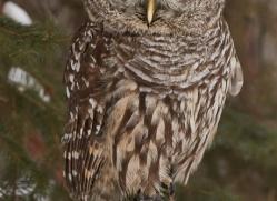 barred-owl-copyright-photographers-on-safari-com-7537