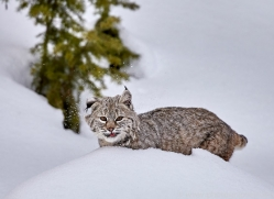 bobcat-copyright-photographers-on-safari-com-7538