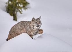 bobcat-copyright-photographers-on-safari-com-7540