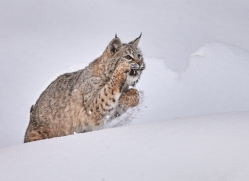 bobcat-copyright-photographers-on-safari-com-7541