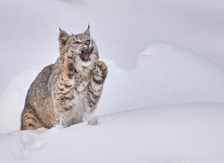 bobcat-copyright-photographers-on-safari-com-7542