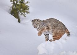 bobcat-copyright-photographers-on-safari-com-7543