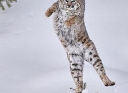 bobcat-copyright-photographers-on-safari-com-7548