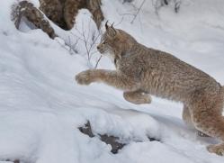 canadian-lynx-copyright-photographers-on-safari-com-7549