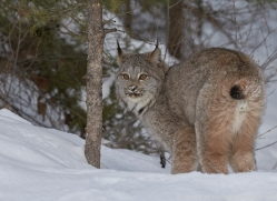 canadian-lynx-copyright-photographers-on-safari-com-7550