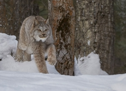 canadian-lynx-copyright-photographers-on-safari-com-7551