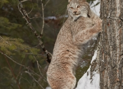 canadian-lynx-copyright-photographers-on-safari-com-7552