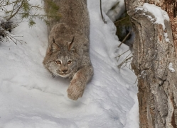 canadian-lynx-copyright-photographers-on-safari-com-7554