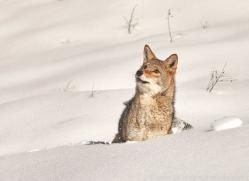 coyote-copyright-photographers-on-safari-com-7556