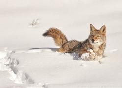 coyote-copyright-photographers-on-safari-com-7557