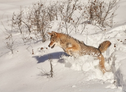 coyote-copyright-photographers-on-safari-com-7559