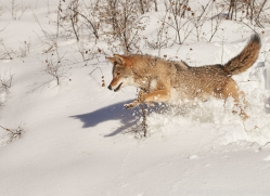 coyote-copyright-photographers-on-safari-com-7560