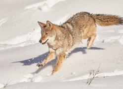 coyote-copyright-photographers-on-safari-com-7564