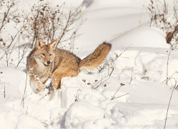 coyote-copyright-photographers-on-safari-com-7565