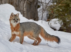 grey-fox-copyright-photographers-on-safari-com-7570