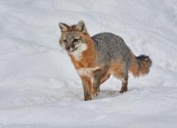 grey-fox-copyright-photographers-on-safari-com-7574