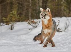 grey-fox-copyright-photographers-on-safari-com-7575