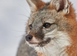 grey-fox-copyright-photographers-on-safari-com-7576