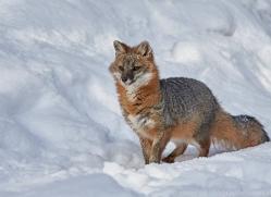 grey-fox-copyright-photographers-on-safari-com-7581