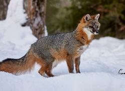 grey-fox-copyright-photographers-on-safari-com-7583