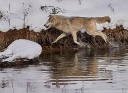 grey-wolf-copyright-photographers-on-safari-com-7586