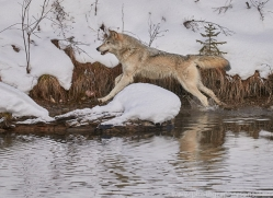 grey-wolf-copyright-photographers-on-safari-com-7587