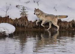 grey-wolf-copyright-photographers-on-safari-com-7589