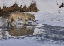 grey-wolf-copyright-photographers-on-safari-com-7590