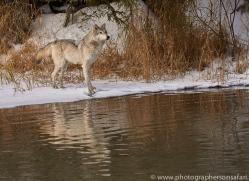 grey-wolf-copyright-photographers-on-safari-com-7593