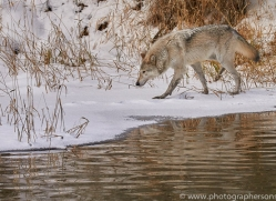 grey-wolf-copyright-photographers-on-safari-com-7594