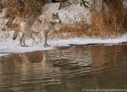 grey-wolf-copyright-photographers-on-safari-com-7595