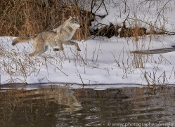 grey-wolf-copyright-photographers-on-safari-com-7596