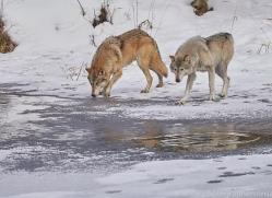 grey-wolf-copyright-photographers-on-safari-com-7598