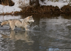 grey-wolf-copyright-photographers-on-safari-com-7600