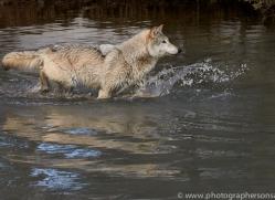 grey-wolf-copyright-photographers-on-safari-com-7601