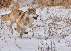 grey-wolf-copyright-photographers-on-safari-com-7602