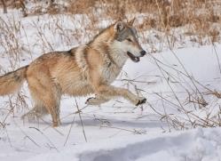 grey-wolf-copyright-photographers-on-safari-com-7603