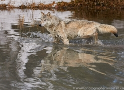 grey-wolf-copyright-photographers-on-safari-com-7604