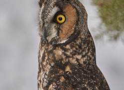 long-eared-owl-copyright-photographers-on-safari-com-7606